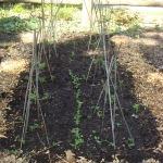 peas planted