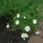 Bright daisies along the curb