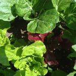 Many lettuce varieties