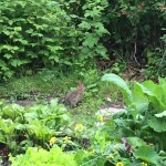 Cottontail in the garden