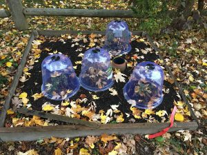 Lavender under cloches for winter