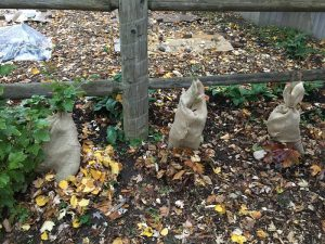 Bew Raspberry Bushes wrapped in burlap for winter